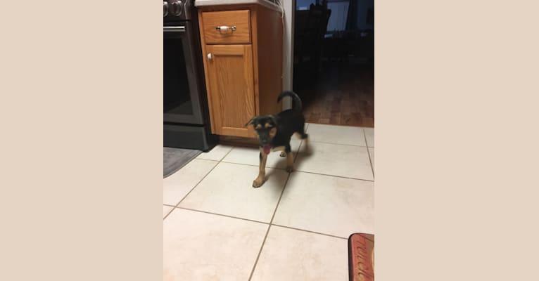 Photo of Remington, a Siberian Husky, American Pit Bull Terrier, Labrador Retriever, German Shepherd Dog, Bulldog, and Mixed mix in Cairo, GA, USA
