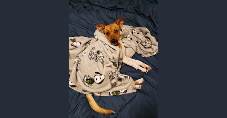Photo of Alice, a Chihuahua, Australian Cattle Dog, Shih Tzu, Poodle (Small), Russell-type Terrier, Miniature Pinscher, and Mixed mix in Porterville, California, USA