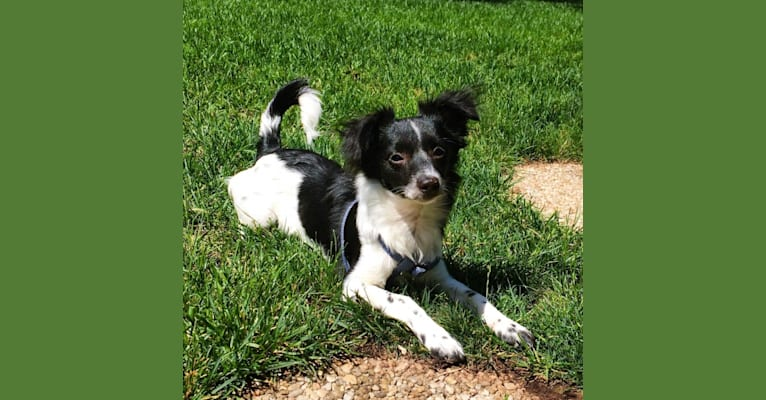 Photo of Pepper, a Rat Terrier, Chihuahua, Dachshund, Lhasa Apso, and American Eskimo Dog mix in Billings, MT, USA