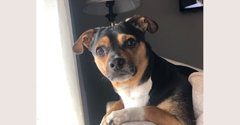 Photo of Ollie, a Miniature Pinscher, Miniature Schnauzer, Chihuahua, and Dachshund mix in Acworth, Georgia, USA