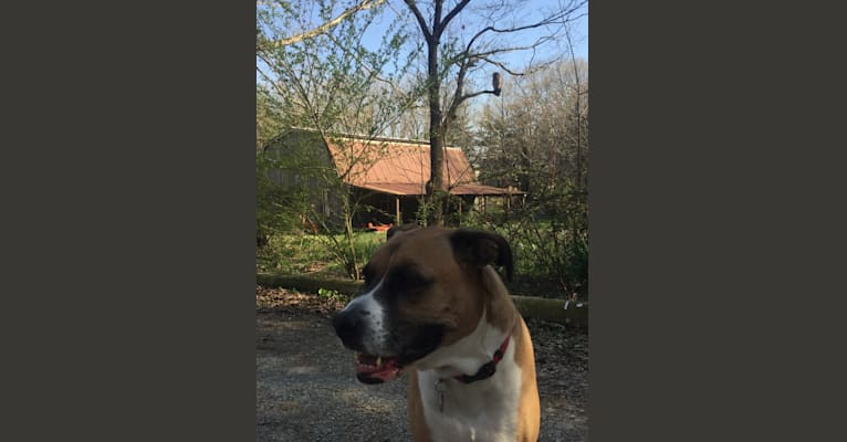 Photo of Hyde, a Boxer and German Shepherd Dog mix