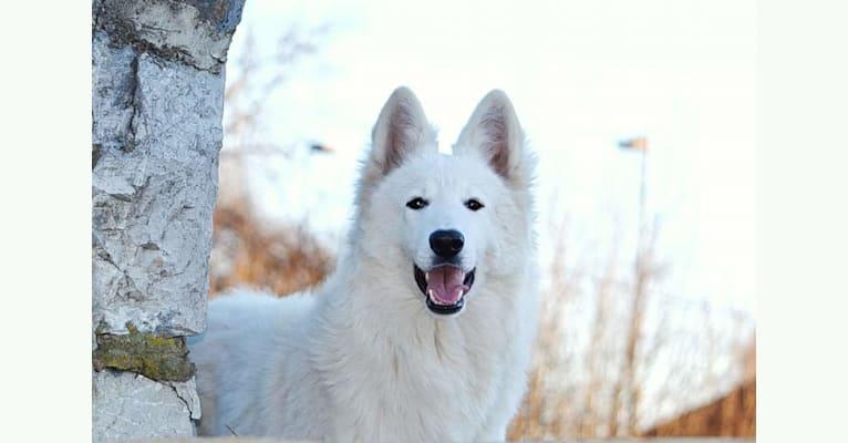 Photo of Zumba, a White Shepherd