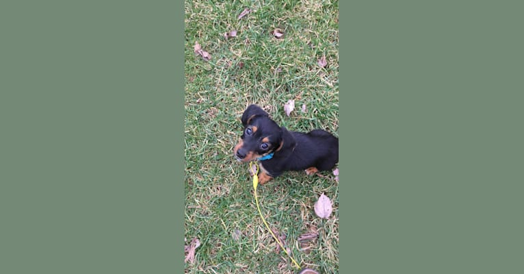 Photo of Ruger, a Beagle and Yorkshire Terrier mix in Kentucky, USA