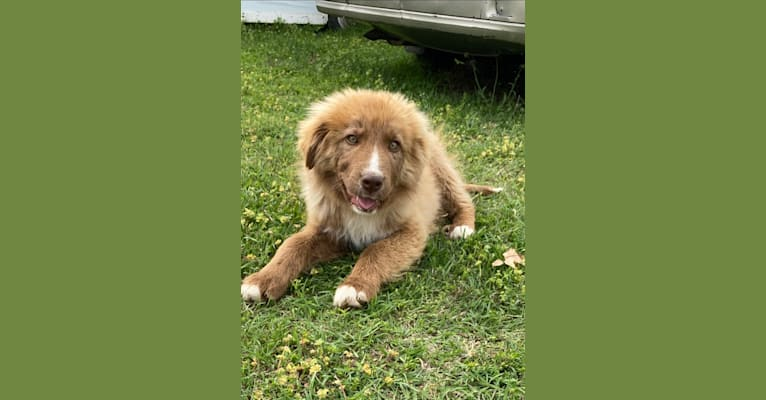 Photo of Summit, a Border Collie, Great Pyrenees, and Mixed mix in Oklahoma City, OK, USA