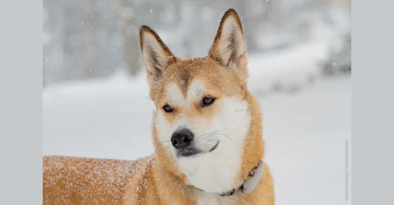 Photo of Oscar, a Japanese and Korean Village Dog  in Chungcheongbuk-do, South Korea