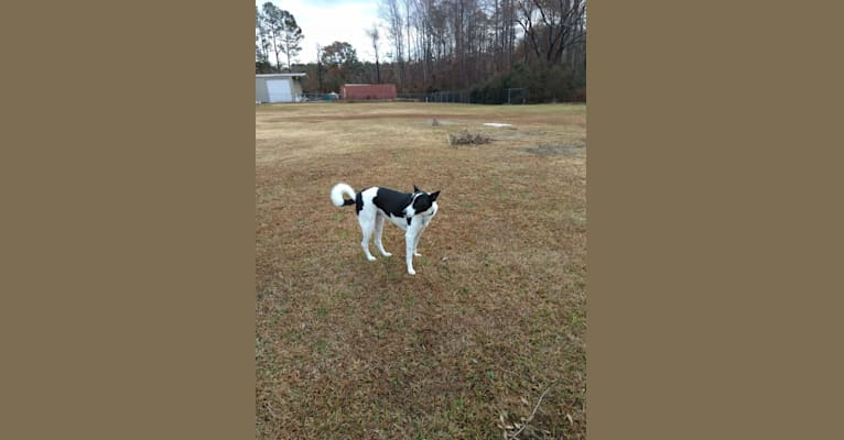 Photo of Maggie, a Canaan Dog  in Raleigh, NC, USA