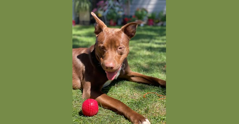 Photo of Fudge, an Australian Shepherd, American Pit Bull Terrier, American Staffordshire Terrier, and Australian Cattle Dog mix in Wisconsin, USA