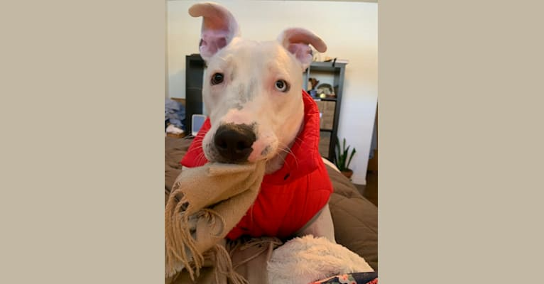 Photo of Nigel, an American Pit Bull Terrier, German Shepherd Dog, American Staffordshire Terrier, and Mixed mix in Texas, USA