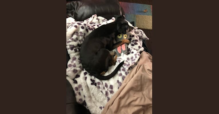 Photo of Dobby, a Miniature Pinscher, Russell-type Terrier, Chihuahua, and Mixed mix in Novato, CA, USA