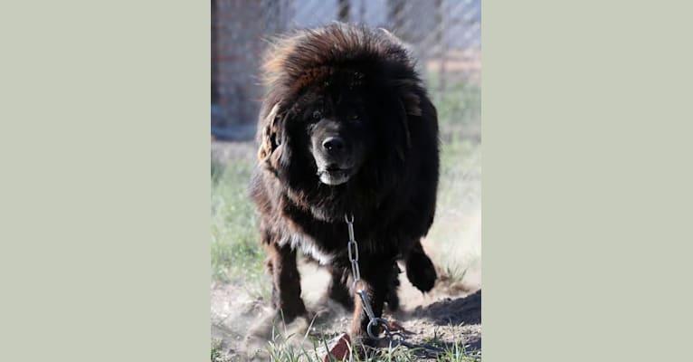 Photo of YING BANG, a Tibetan Mastiff