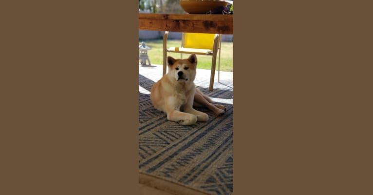Photo of Mika, an Akita Inu  in Phoenix, Arizona, USA