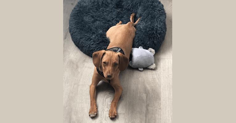 Photo of Kola, a Chihuahua, Cocker Spaniel, Australian Cattle Dog, and Miniature Pinscher mix in San Bernardino, California, USA