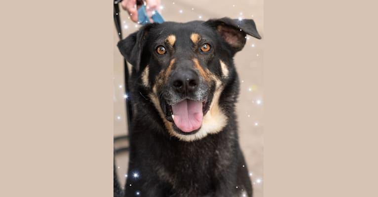 Photo of Sprocket, a German Shepherd Dog, Chow Chow, and Labrador Retriever mix in Houston, Texas, USA