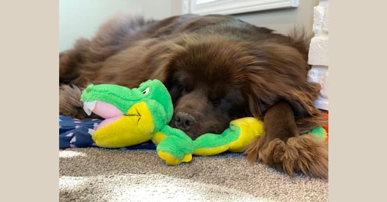 Photo of Willow, a Newfoundland  in Grand Rapids, Michigan, USA