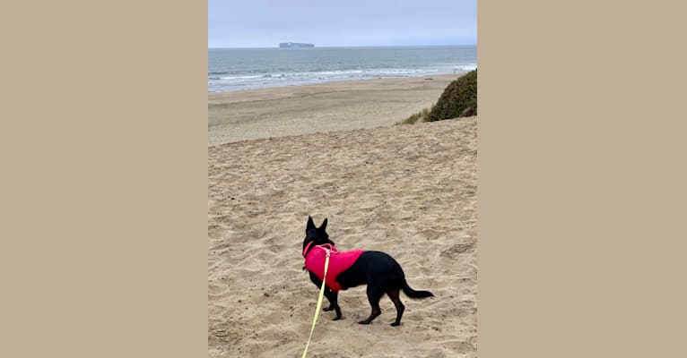 Photo of Lily, a German Shepherd Dog, Chihuahua, Poodle (Small), Miniature Pinscher, and Border Collie mix in Fresno, CA, USA
