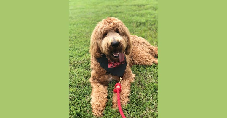 Photo of Brodie, a Goldendoodle  in Greenwood, AR, USA