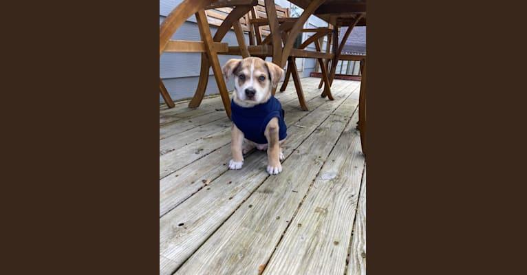Photo of Beau, a Siberian Husky, American Bulldog, Bulldog, and German Shepherd Dog mix in Kentucky, USA