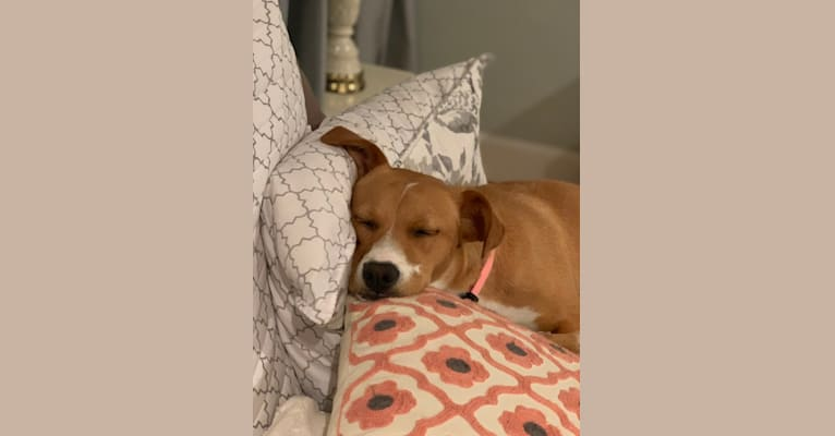 Photo of Betsy, a Boxer, Beagle, Chow Chow, Golden Retriever, and Mixed mix in Clarksville, Virginia, USA