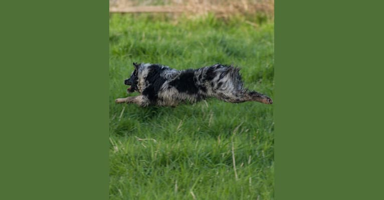 Photo of Q, an Australian Shepherd Group  in Maryland, USA
