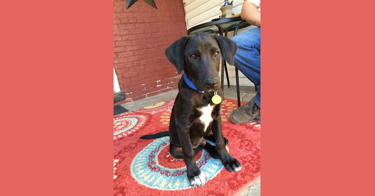 Photo of Charlie, a Labrador Retriever, Great Pyrenees, Collie, and Mixed mix in Barnwell, South Carolina, USA