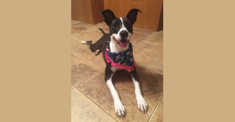 Photo of Lola, an American Pit Bull Terrier, Australian Cattle Dog, and American Staffordshire Terrier mix in Birmingham, Alabama, USA