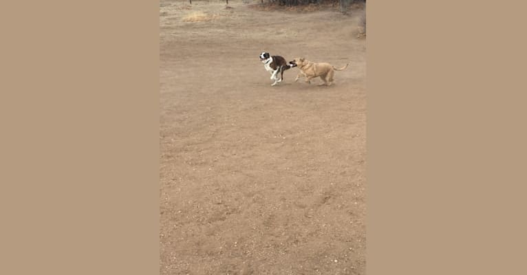 Photo of Chase, an Australian Cattle Dog, American Pit Bull Terrier, Saint Bernard, Australian Shepherd, Great Pyrenees, and Mixed mix in New Mexico, USA