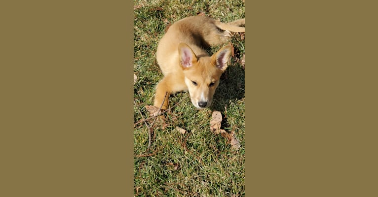 Photo of Zoe Belle, a German Shepherd Dog and Australian Cattle Dog mix in Peoria, Illinois, USA