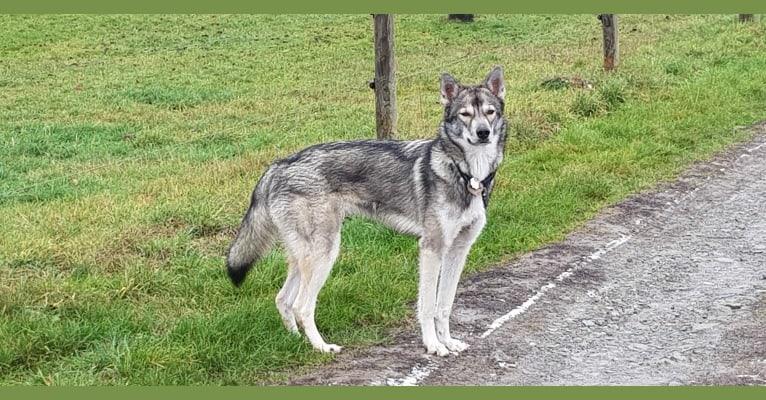Photo of Namida, a Siberian Husky, German Shepherd Dog, and Alaskan Malamute mix in Niederlande