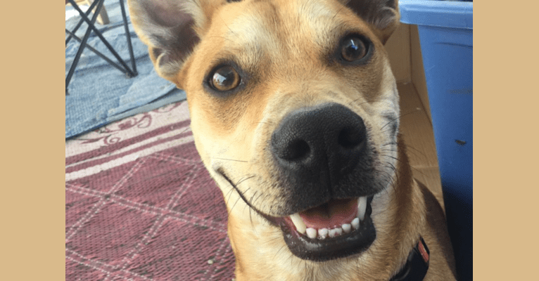 Photo of Rowdy, an American Pit Bull Terrier, Miniature Pinscher, Pug, and Mixed mix