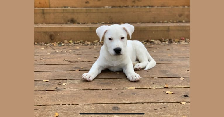 Photo of Gibson, an American Pit Bull Terrier, Australian Cattle Dog, and Mixed mix in Bandera, Texas, USA