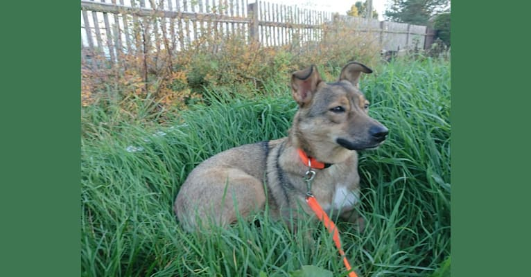 Photo of Daisy, an Eastern European Village Dog and Siberian Husky mix in Cernavodă, Kreis Constanța, Rumänien