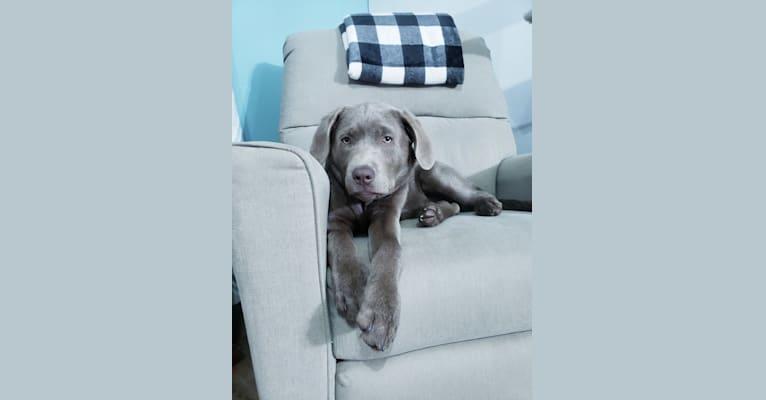 Photo of Jordy, a Labrador Retriever  in Illinois, USA