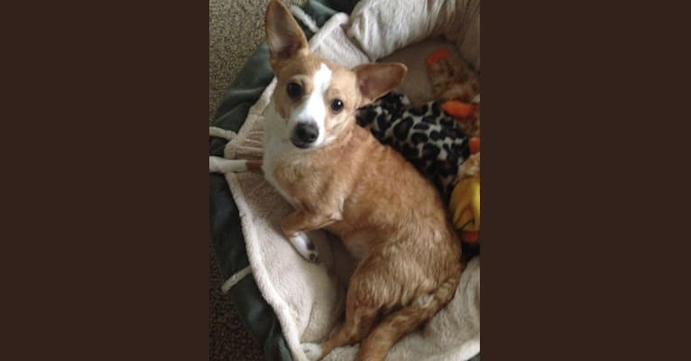 Photo of Jewel, a Chihuahua, Poodle (Small), Yorkshire Terrier, and Mixed mix in USA