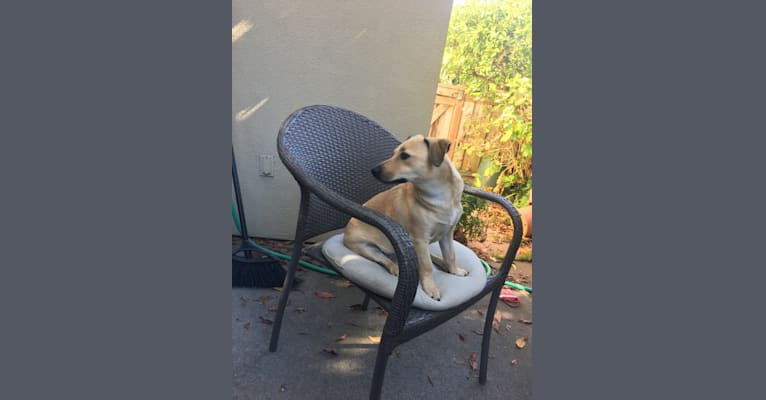Photo of Blondie, a Chihuahua, American Pit Bull Terrier, Cocker Spaniel, Pomeranian, and Mixed mix in Emeryville, CA, USA