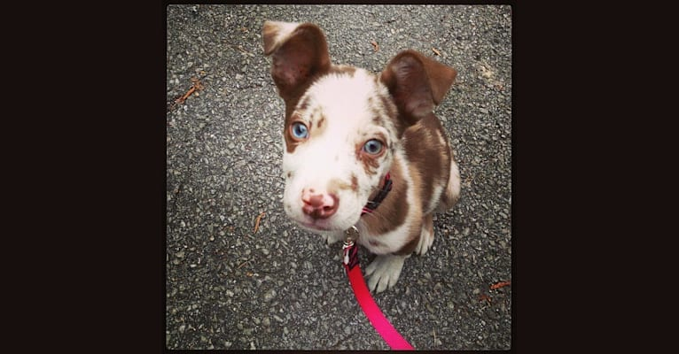 Photo of Luna, an American Bully and Border Collie mix in Decatur, Alabama, USA