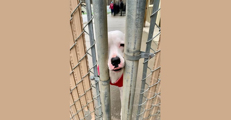 Photo of Tiptoe, an American Pit Bull Terrier, Great Pyrenees, American Staffordshire Terrier, and Boxer mix in Greensboro, North Carolina, USA