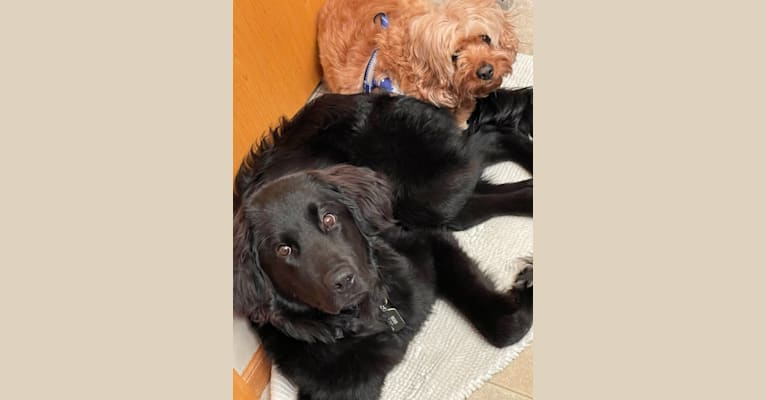 Photo of Bear, a Labrador Retriever, Poodle (Standard), Great Pyrenees, and American Pit Bull Terrier mix
