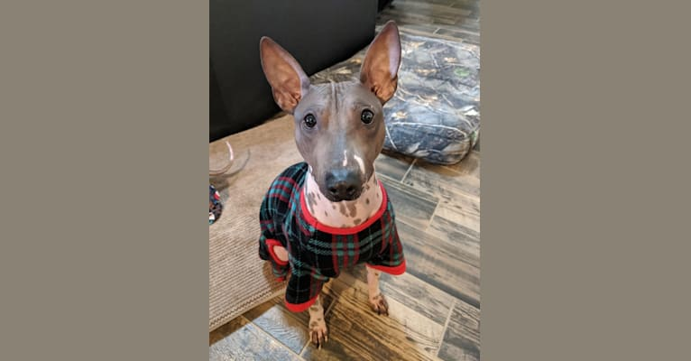 Photo of Rawhide, an American Hairless Terrier  in Uvalde, TX, USA