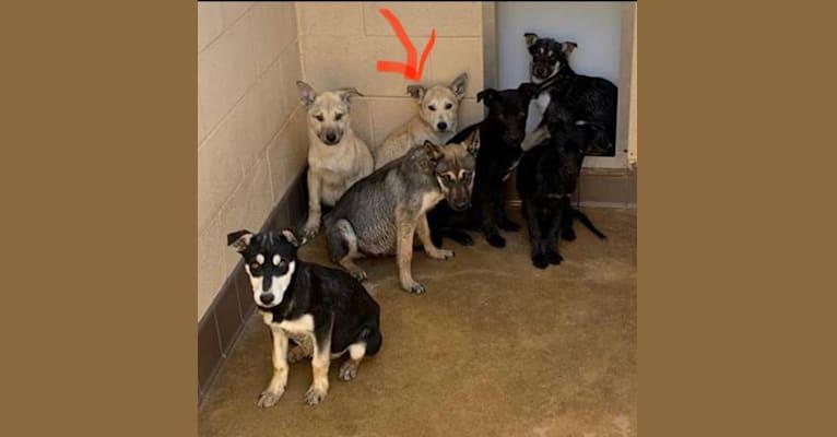Photo of Loki, an American Pit Bull Terrier, Siberian Husky, and German Shepherd Dog mix