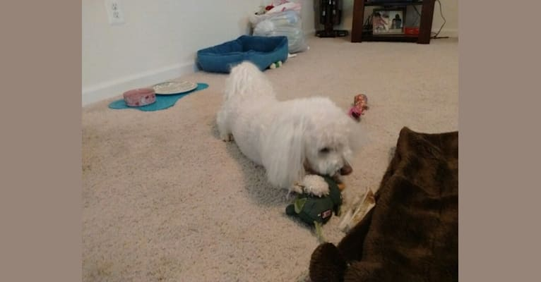 Photo of Cheyenne, a Bichon Frise  in Pennsylvania, USA