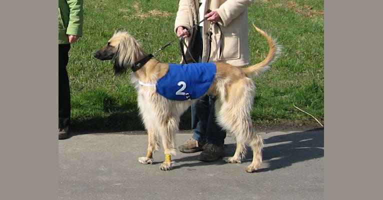 Photo of Xoran, an Afghan Hound  in Netherlands