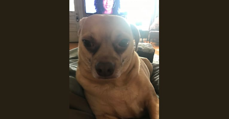 Photo of Cheeto, a Chihuahua, Dachshund, and Pug mix in Bolivar, Missouri, USA