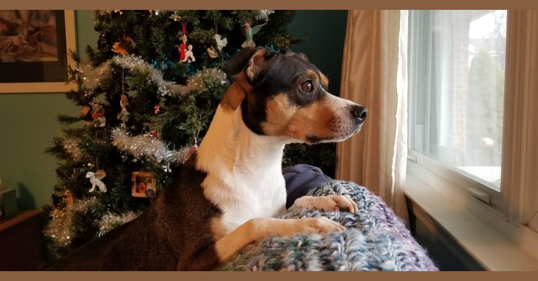 Photo of Loki, a Rat Terrier, Bulldog, Chihuahua, and Boston Terrier mix in Mississippi, USA