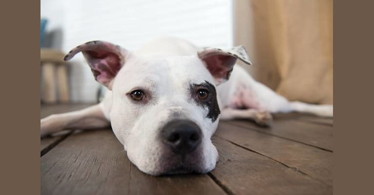 Photo of Pete, an American Pit Bull Terrier  in Memphis, Tennessee, USA