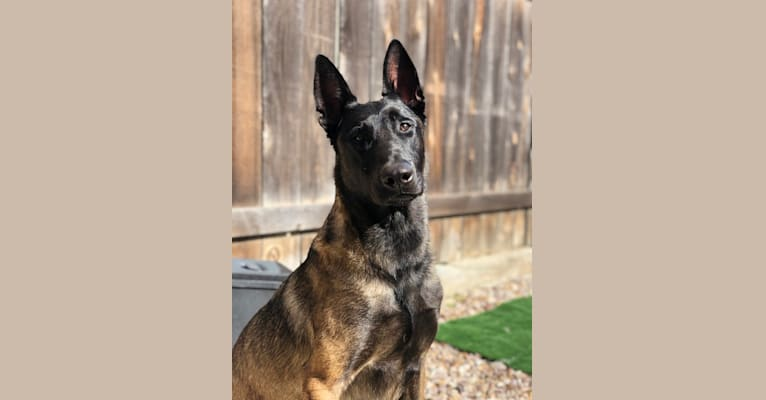 Photo of Moose, a Belgian Shepherd  in San Diego, California, USA