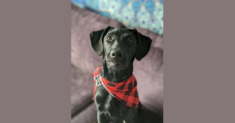 Photo of Willow, a Labrador Retriever, German Shorthaired Pointer, Pointer, and American Pit Bull Terrier mix in Oklahoma, USA