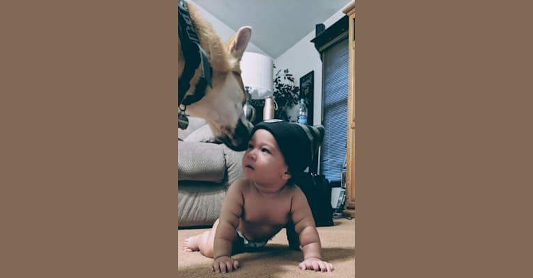 Photo of Outlaw, a Siberian Husky, Belgian Malinois, German Shepherd Dog, and Mixed mix in San Diego, California, USA