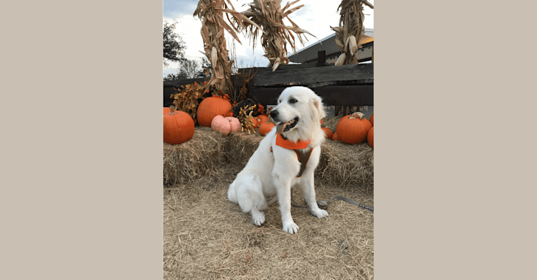 Photo of Riley, a Great Pyrenees  in Lockhart, Texas, USA