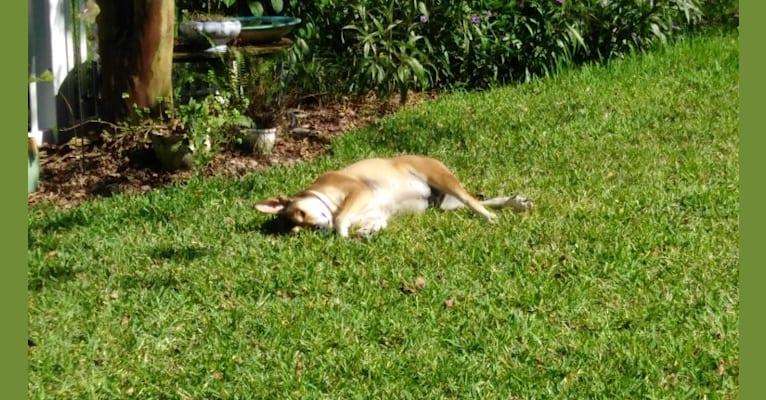 Photo of Walnut, a Bulldog, Boxer, Chow Chow, and Mixed mix in Orlando, Florida, USA