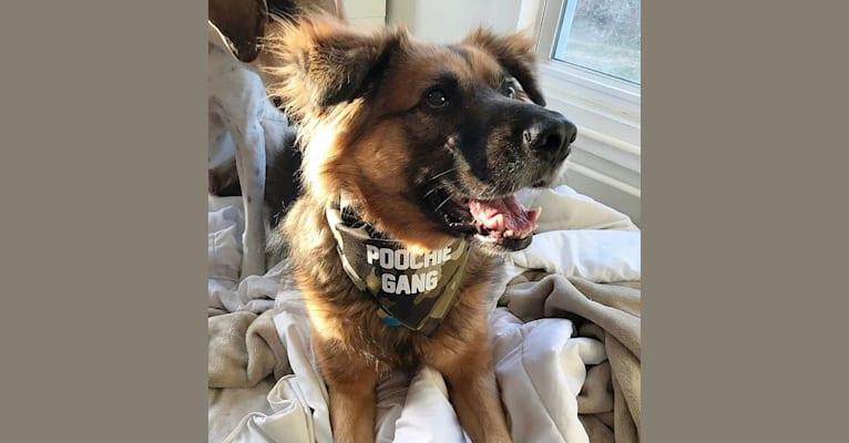 Photo of Max, a German Shepherd Dog, Labrador Retriever, and Golden Retriever mix in Delaware, USA